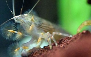 Креветка фильтратор – банановый атиопсис: содержание, размножение, фото-видео обзор – домашняя аквариумистика