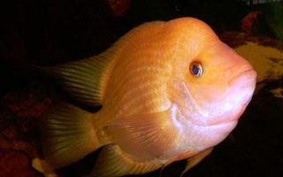 Цихлазома лимонная или цихлазома цитроновая – домашняя аквариумистика