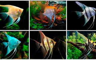 Скалярии: содержание, совместимость, уход, размножение, виды, фото-видео обзор – домашняя аквариумистика