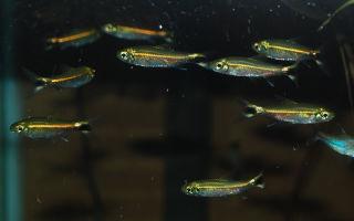 Неон зеленый костелло – домашняя аквариумистика
