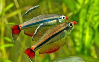 Кардинал рыбка: содержание, совместимость, фото-видео обзор – домашняя аквариумистика