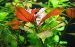 Людвигия ползучая, репенс, натанс или красная: содержание, фото-видео обзор – домашняя аквариумистика