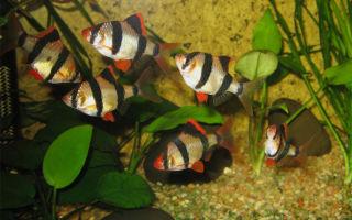 Брохис или зеленый сомик – домашняя аквариумистика