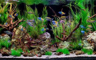 У «ледяной рыбы» его всего 1%! – домашняя аквариумистика