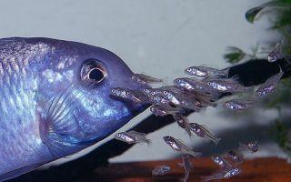 Голубой дельфин разведение и нерест – домашняя аквариумистика