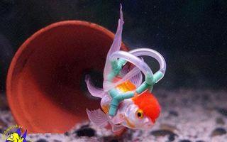 Эйнштейн жив – рассказ о спасении золотой рыбки – домашняя аквариумистика