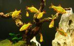 Барбус шуберта: содержание, совместимость, разведение, фото-видео обзор – домашняя аквариумистика
