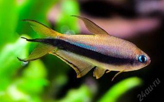 Королевская тетра пальмери: содержание, совместимость, фото-видео обзор – домашняя аквариумистика