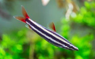 Аностомус – домашняя аквариумистика