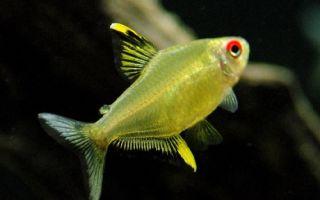 Тетра лимонная – домашняя аквариумистика