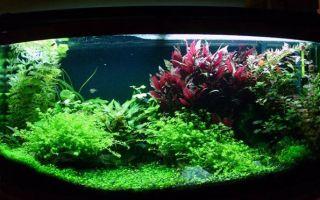 Дубок мексиканский содержание в аквариуме: фото-видео обзор – домашняя аквариумистика