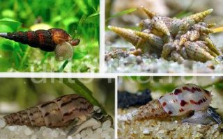 Улитка мелания польза и вред, содержание, фото-видео обзор – домашняя аквариумистика