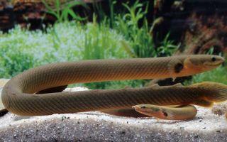 Каламоихт калабарский – аквариумная змея: содержание, совместимость,  фото-видео обзор – домашняя аквариумистика