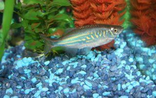 Данио деварио – домашняя аквариумистика