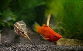 Макрогнатус: содержание, совместимость, фото-видео обзор – домашняя аквариумистика