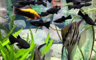 Моллинезия разведение и нерест – домашняя аквариумистика