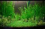 Валлиснерия содержание и уход в аквариуме, виды, размножение, фото-видео обзор – домашняя аквариумистика