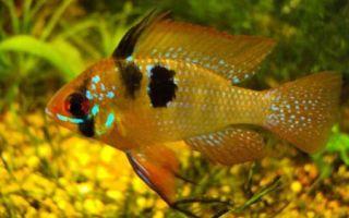Рыбки из озера малави (цихлиды малавийские) узнают своих хозяев? – домашняя аквариумистика