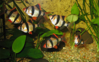 Барбус – содержание, уход, виды – домашняя аквариумистика