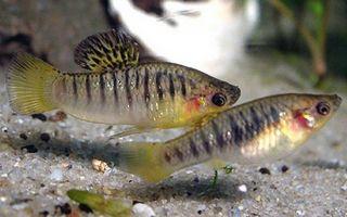 Лимия чернополосая: содержание, фото-видео обзор – домашняя аквариумистика