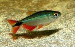 Шубункин – домашняя аквариумистика