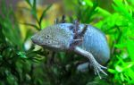 Обнаружена большая редкая саламандра! – домашняя аквариумистика