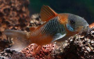 Коридорас венесуэла оранж и блэк: содержание, фото-видео обзор – домашняя аквариумистика
