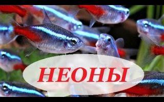 Неоны рыбки: содержание, совместимость, размножение, виды, фото-видео обзор – домашняя аквариумистика