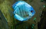 Дискус голубой – домашняя аквариумистика