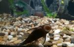 Анциструс: содержание, совместимость, разведение, фото-видео обзор сомика присоски, прилипалы – домашняя аквариумистика
