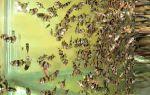 Барбус суматранский разведение и нерест – домашняя аквариумистика