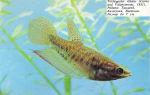 Нотобранхиус гюнера – домашняя аквариумистика