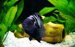 Цихлазома чернополосая – домашняя аквариумистика