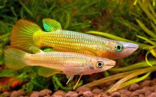 Линеатус золотая щучка – аплохейлус: содержание, разведение, фото-видео обзор – домашняя аквариумистика