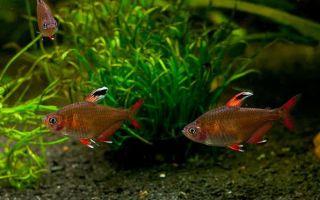 Красный фантом или орнатус: содержание, совместимость,  фото-видео обзор – домашняя аквариумистика