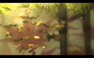 Секреты размножения гуппи в аквариуме – домашняя аквариумистика