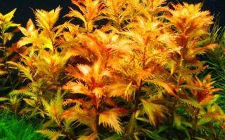 Прозерпинака палюстрис: содержание, фото-видео обзор – домашняя аквариумистика