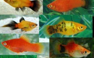 8 распространенных видов аквариумной рыбки пецилии – домашняя аквариумистика