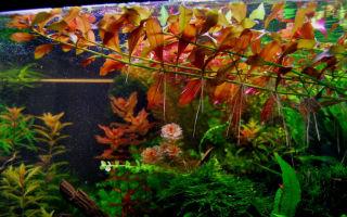 Людвигия болотная или палюстрис: содержание, фото-видео обзор – домашняя аквариумистика