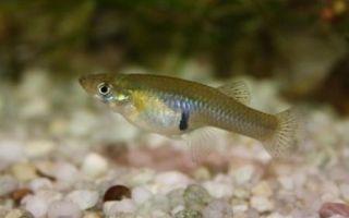 Гамбузия – домашняя аквариумистика