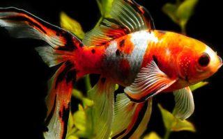Шубункин – золотая рыбка: содержание, совместимость, фото-видео обзор – домашняя аквариумистика