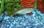 Канамицин для лечения аквариумных рыб – домашняя аквариумистика