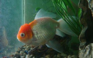 Оранда – золотая рыбка – домашняя аквариумистика