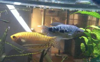 Гурами золотой: содержание, совместимость, самец и самка, фото-видео обзор – домашняя аквариумистика
