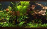 Все о растении кабомба: содержание в аквариуме, фото-видео обзор – домашняя аквариумистика