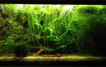 Лимнобиум побегоносный: содержание, фото-видео обзор – домашняя аквариумистика