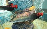 Арапайма гигантская рыба: фото-видео обзор! – домашняя аквариумистика