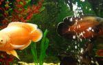 Агрессивные аквариумные рыбки: черный список негодяев – домашняя аквариумистика