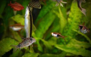 Крапчатый сомик коридорас: содержание, совместимость, разведение, фото-видео обзор – домашняя аквариумистика