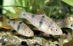 Вуалехвосты разведение и нерест – домашняя аквариумистика